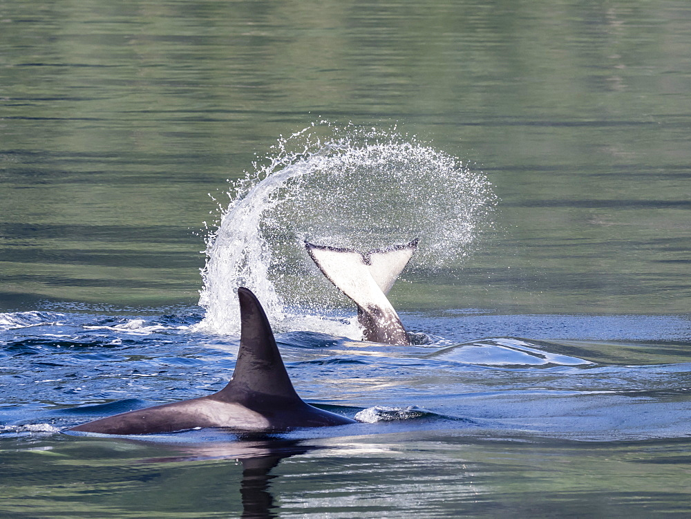 Resident killer whale, Orcinus orca, tail throw in Chatham Strait, Southeast Alaska, USA.