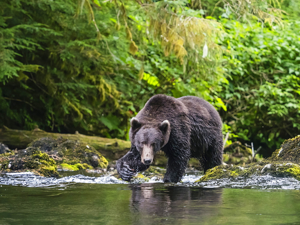 Adult brown bear, Ursus arctos, looking for salmon at Lake Eva, Baranof Island, Southeast Alaska, United States of America