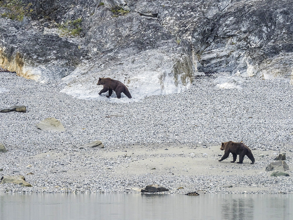 Adult brown bears, Ursus arctos, foraging at low tide in Glacier Bay National Park, Southeast Alaska, United States of America