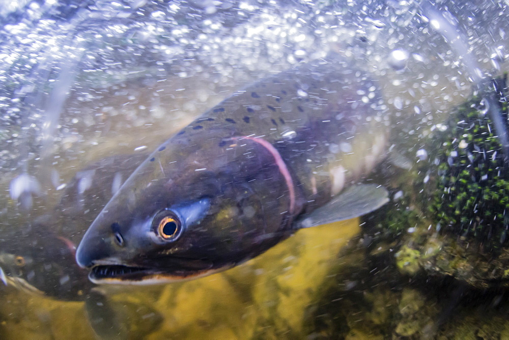 UW view of female pink salmon, Oncorhynchus gorbuscha, in the Indian River spawning near Sitka, Alaska, USA.