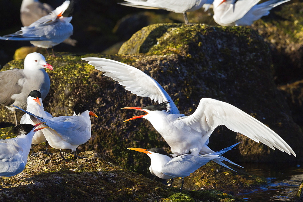 Elegant terns (Thalasseus elegans) mating, Isla Rasa, Gulf of California (Sea of Cortez), Baja California, Mexico, North America