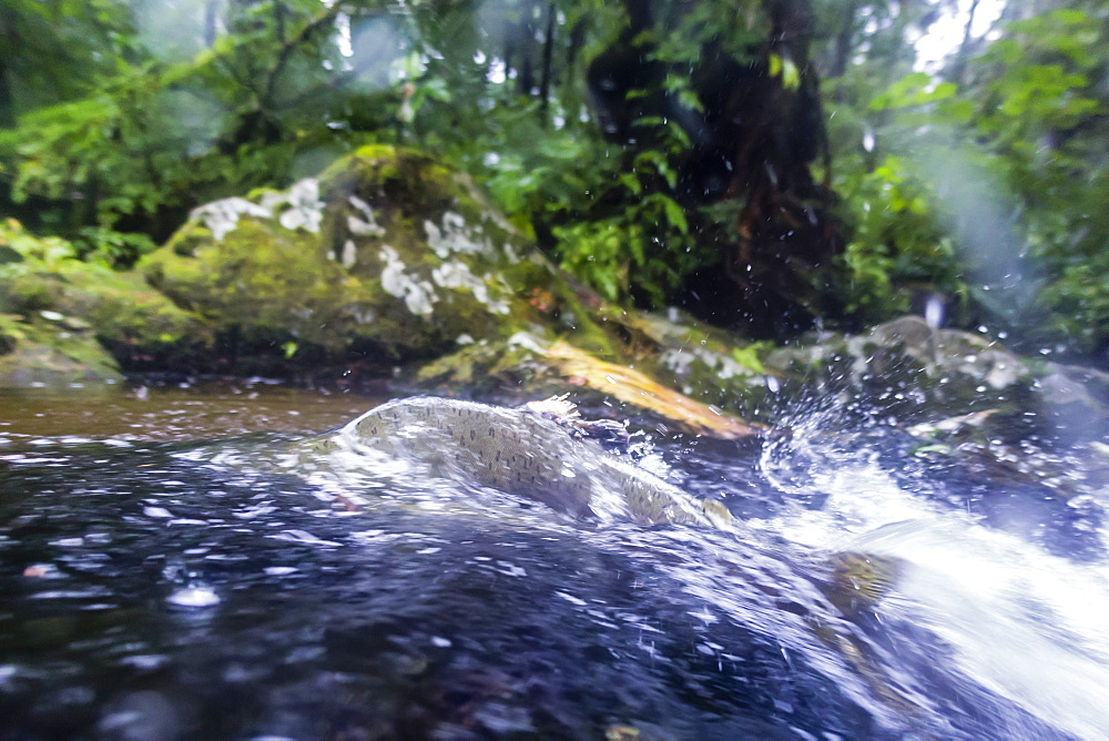 View of a male pink salmon, Oncorhynchus gorbuscha, in the Indian River spawning near Sitka, Alaska, United States of America