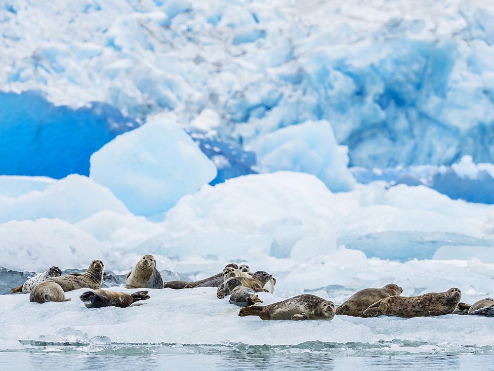 Adult harbor seals, Phoca vitulina, hauled out on ice at South Sawyer Glacier, Tracy Arm, Alaska, USA.