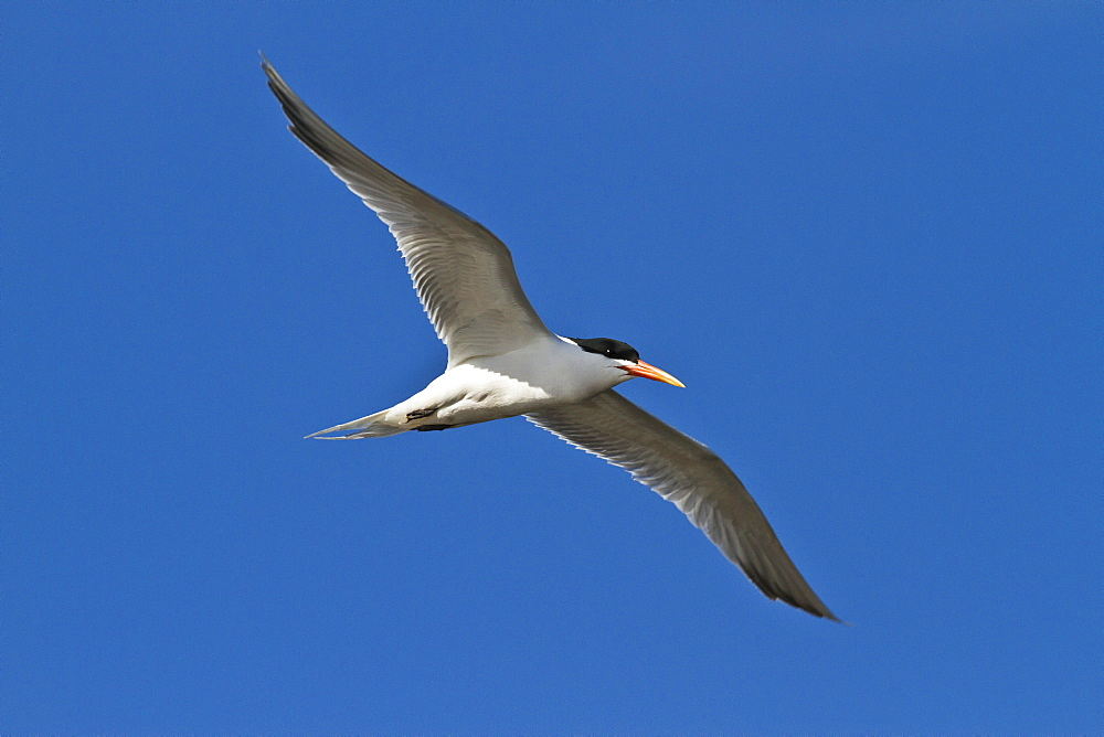 Elegant tern (Thalasseus elegans) in flight, Isla Rasa, Gulf of California (Sea of Cortez), Baja California, Mexico, North America