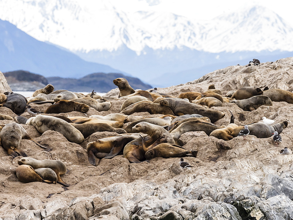 South American sea lions, Otaria flavescens, on a small islet in the Beagle Channel, Ushuaia, Argentina, South America - 1112-4063