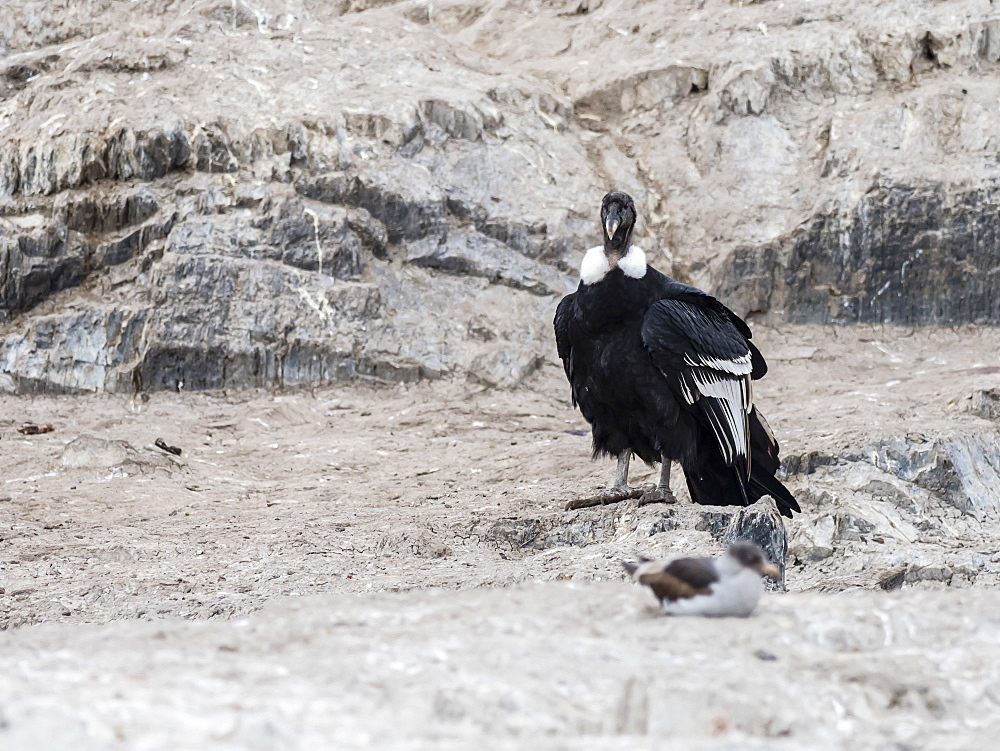 An adult female Andean condor, Vultur gryphus, on small islet in the Beagle Channel, Ushuaia, Argentina, South America