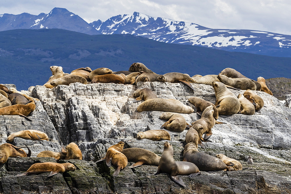 South American sea lions, Otaria flavescens, hauled out on a small islet in the Beagle Channel, Ushuaia, Argentina, South America - 1112-4069