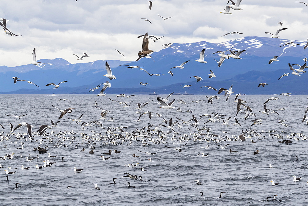 Adult Chilean skua, Stercorarius chilensis, harassing kelp gulls to force regurgitation, Beagle Channel, Argentina, South America