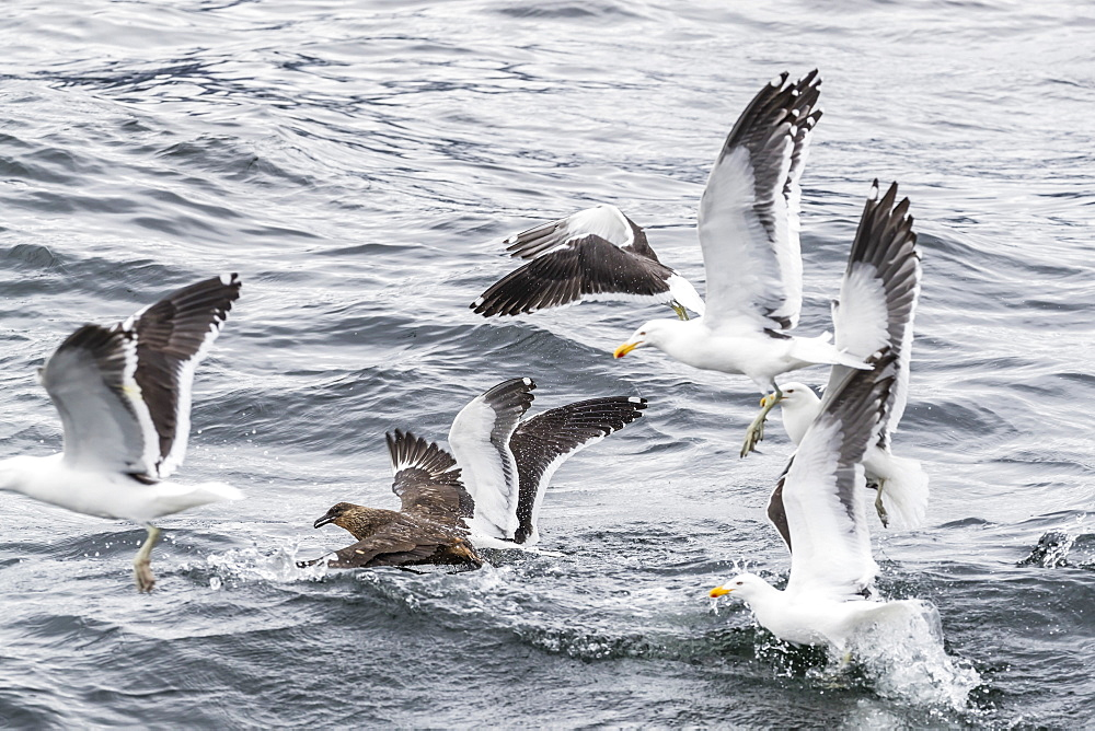 Adult Chilean skua, Stercorarius chilensis, harassing kelp gulls to force regurgitation, Beagle Channel, Argentina.