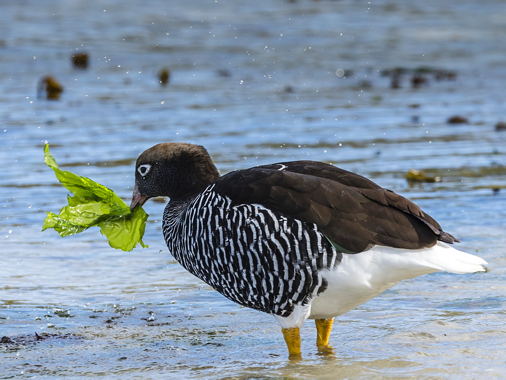 Adult female kelp goose, Chloephaga hybrida, feeding on kelp at low tide at West Point Island, Falkland Islands. - 1112-4076