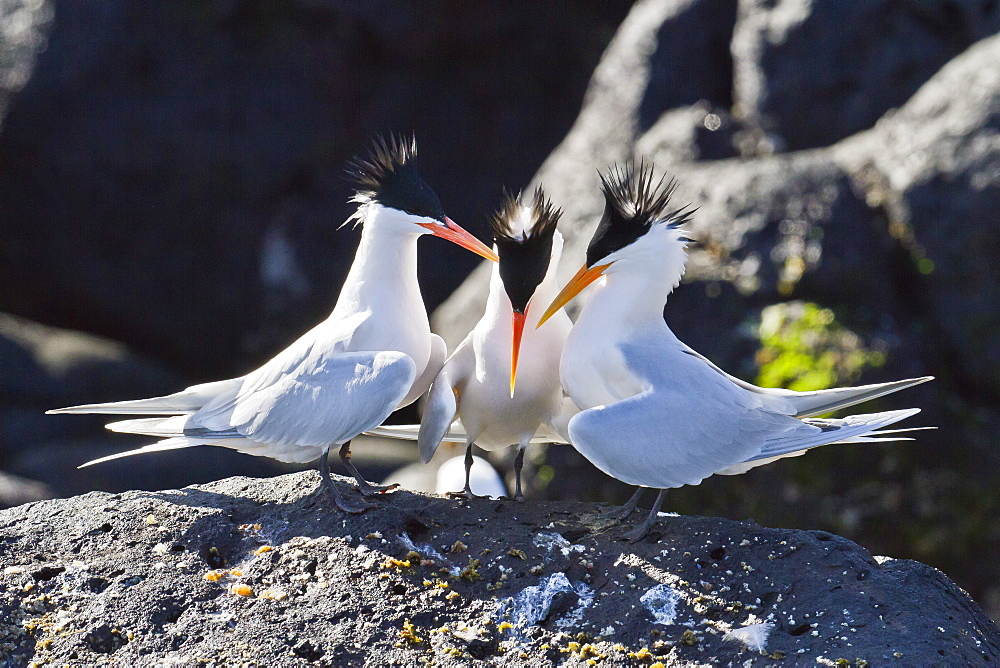 Elegant terns (Thalasseus elegans), Isla Rasa, Gulf of California (Sea of Cortez), Baja California, Mexico, North America