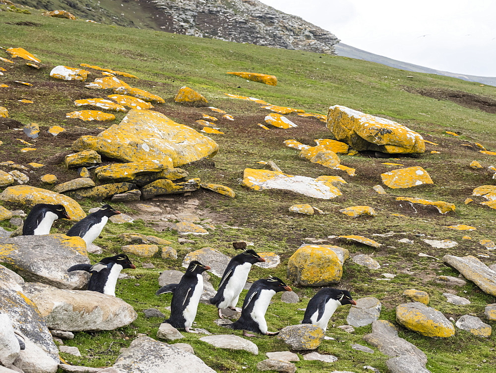Southern rockhopper penguins, Eudyptes chrysocome, at rookery on Saunders Island, Falkland Islands, South Atlantic Ocean
