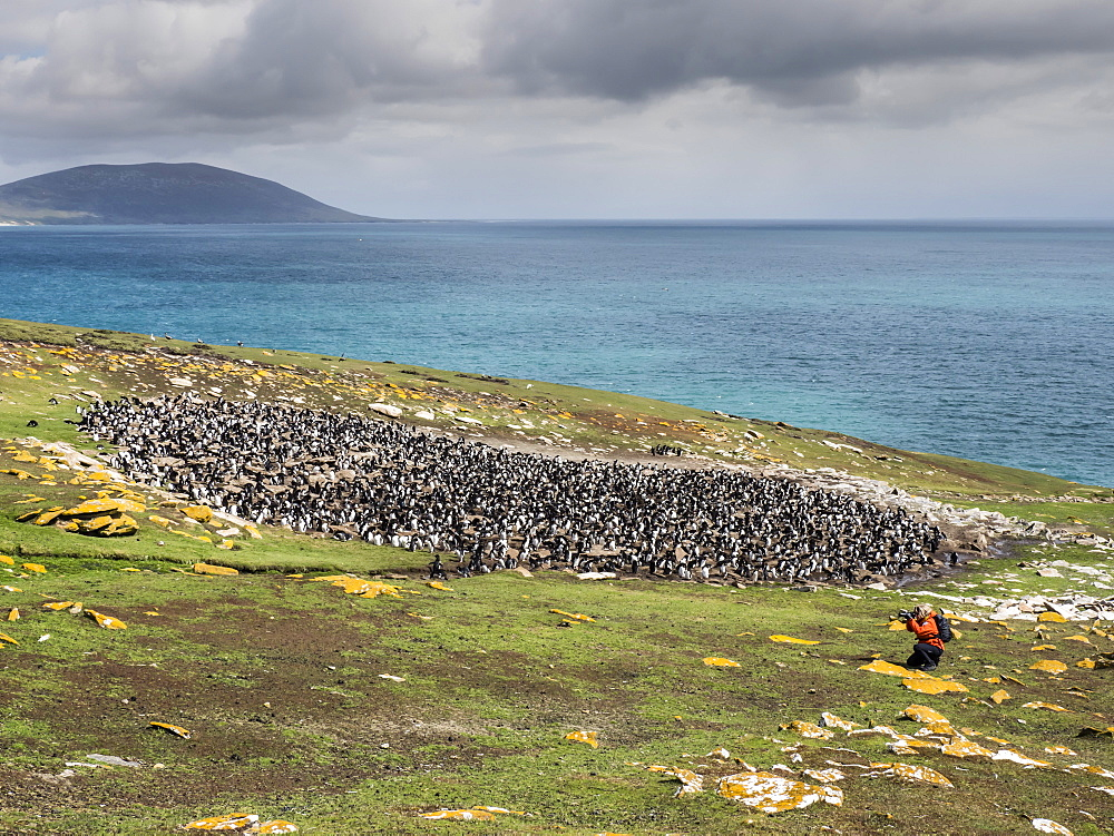 Southern rockhopper penguins, Eudyptes chrysocome, with photographer on Saunders Island, Falkland Islands. - 1112-4083