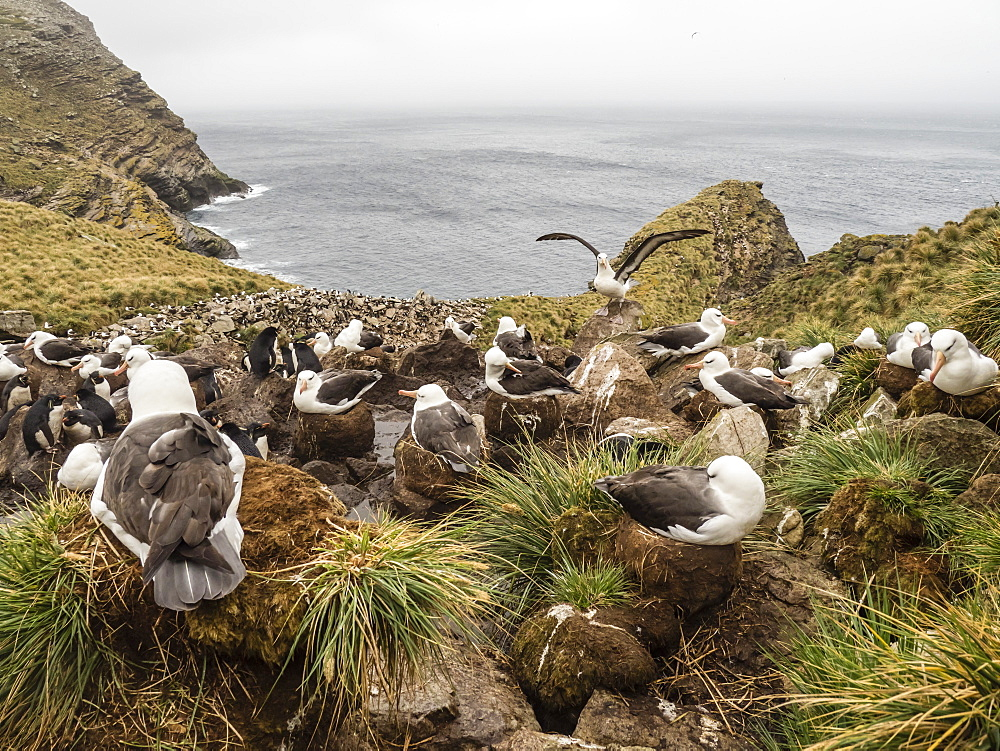 Black-browed albatross, Thalassarche melanophris, at breeding colony on West Point Island, Falkland Islands, South Atlantic Ocean