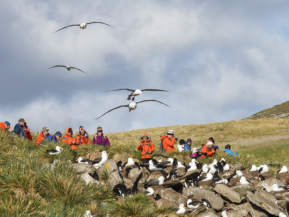 Black-browed albatross, Thalassarche melanophris, in flight near tourists on West Point Island, Falkland Islands, South Atlantic Ocean