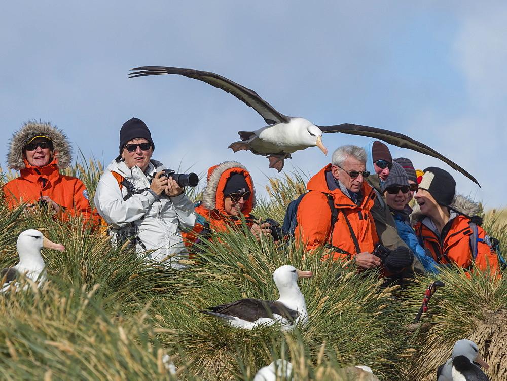 Black-browed albatross, Thalassarche melanophris, in flight near tourists on West Point Island, Falkland Islands.