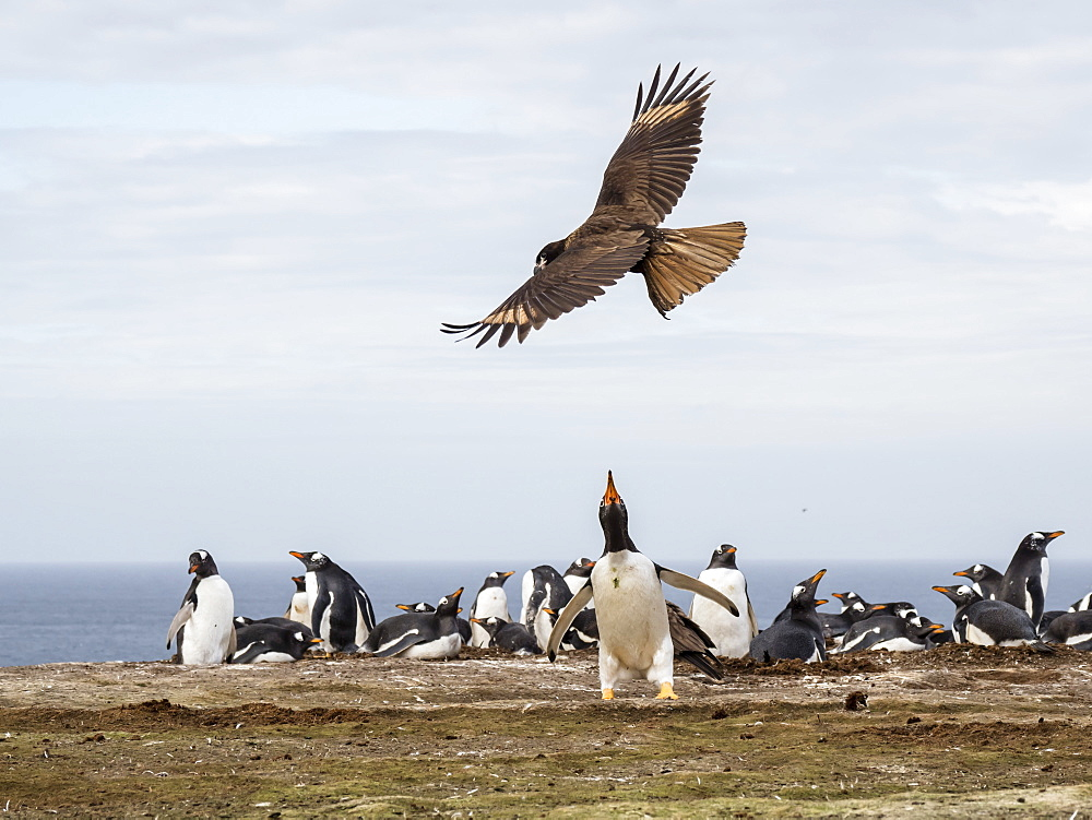 An adult striated caracara, Phalcoboenus australis, harassing a gentoo penguin, New Island, Falkland Islands. - 1112-4097