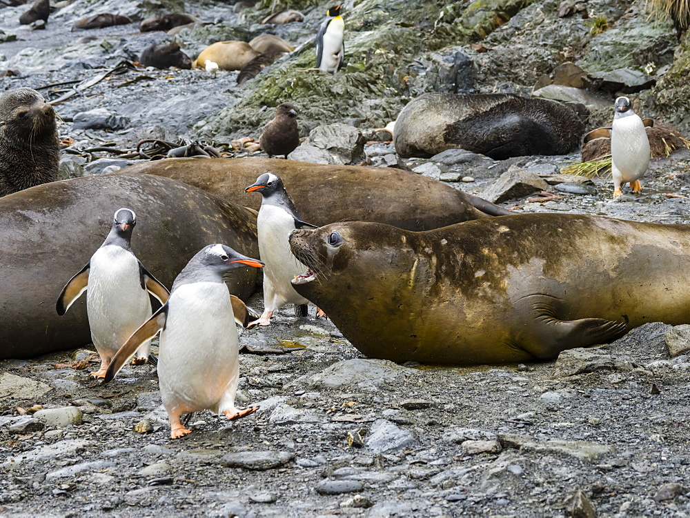 Adult gentoo penguins, Pygoscelis papua, amongst elephant seals at Elsehul, South Georgia Island, Atlantic Ocean
