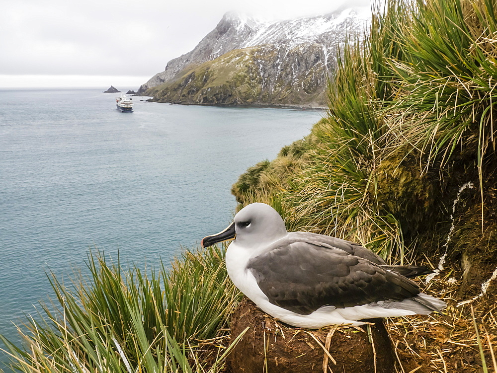 Adult grey-headed albatross, Thalassarche chrysostoma, on nest on tussock grass at Elsehul, South Georgia Island, Atlantic Ocean - 1112-4112
