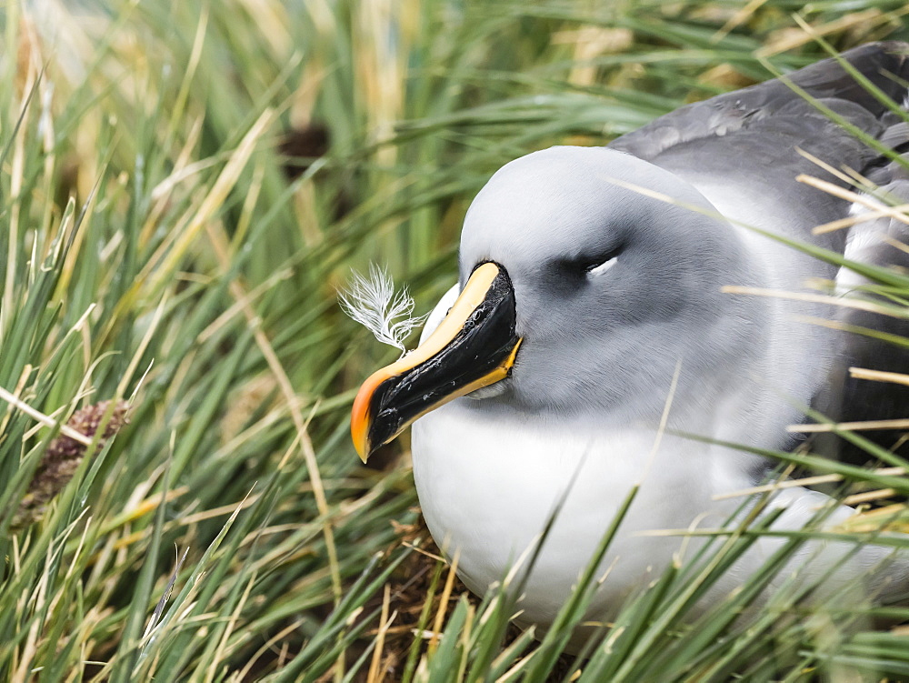Adult grey-headed albatross, Thalassarche chrysostoma, on nest on tussock grass at Elsehul, South Georgia Island, Atlantic Ocean - 1112-4113