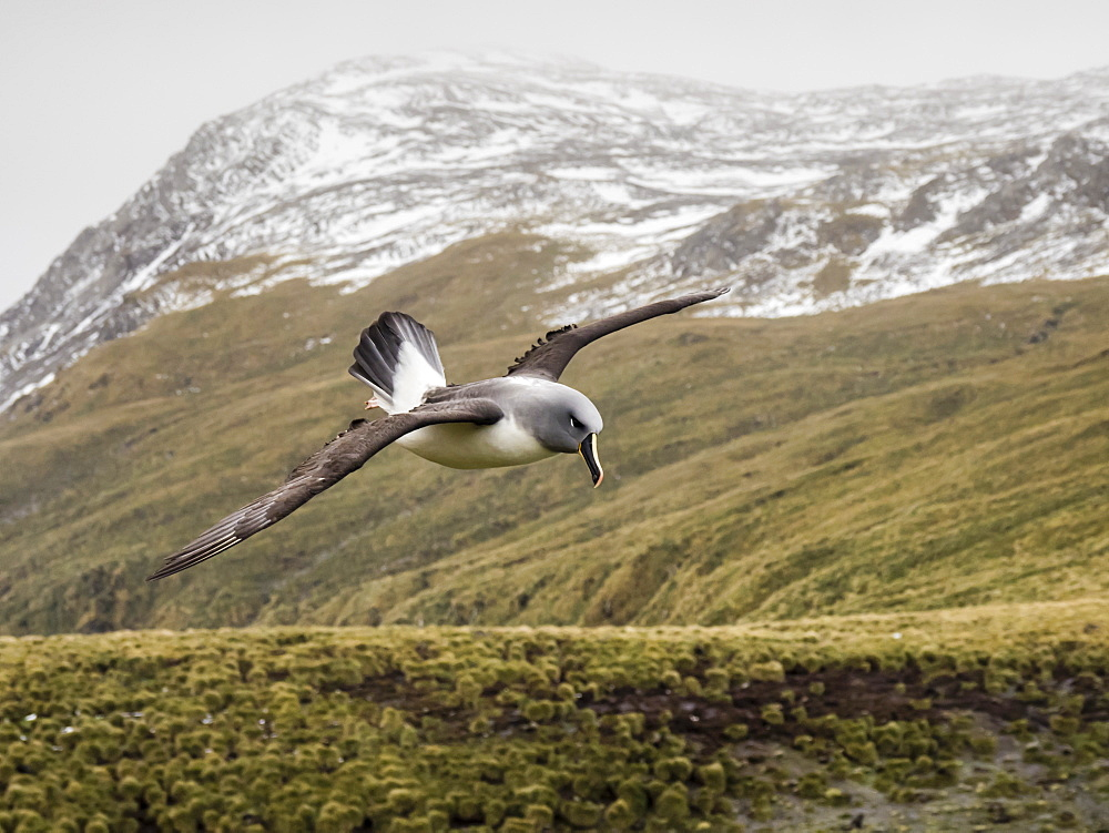 Adult grey-headed albatross, Thalassarche chrysostoma, returning to nest site at Elsehul, South Georgia Island, Atlantic Ocean - 1112-4114