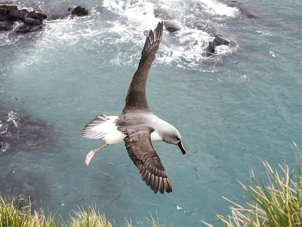 Adult grey-headed albatross, Thalassarche chrysostoma, returning to nest site at Elsehul, South Georgia Island, Atlantic Ocean - 1112-4115