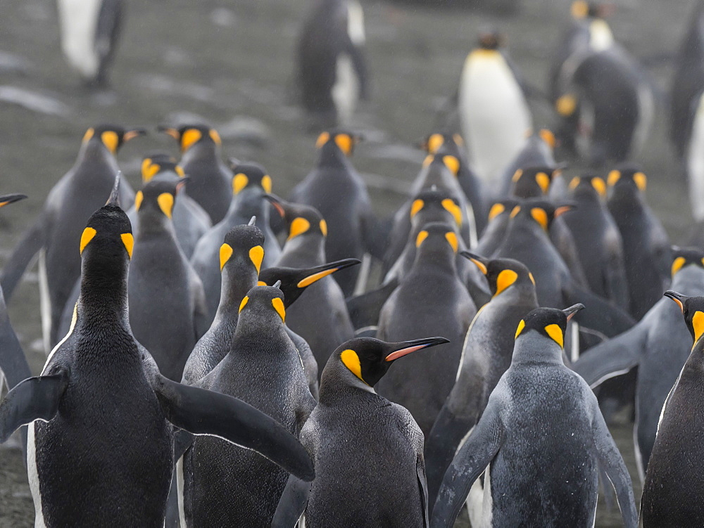 Small group of adult king penguins, Aptenodytes patagonicus, in Gold Harbour, South Georgia Island. - 1112-4117