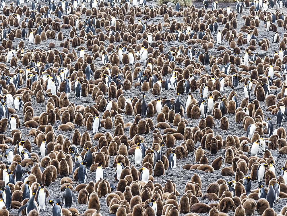 Oakum boy king penguin chicks, Aptenodytes patagonicus, amongst adults at Salisbury Plain, South Georgia Island, Atlantic Ocean - 1112-4121