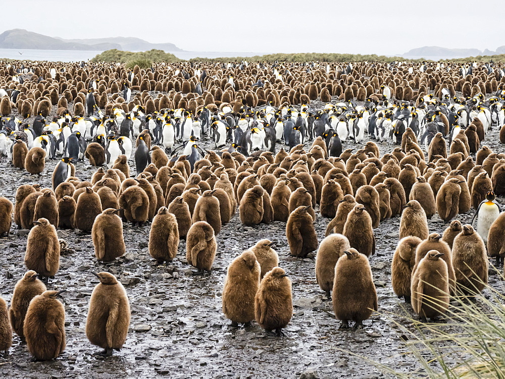 Oakum boy king penguin chicks, Aptenodytes patagonicus, amongst adults at Salisbury Plain, South Georgia Island, Atlantic Ocean - 1112-4122