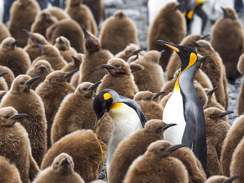 Adult king penguins, Aptenodytes patagonicus, amongst chicks at Salisbury Plain, South Georgia Island. - 1112-4124