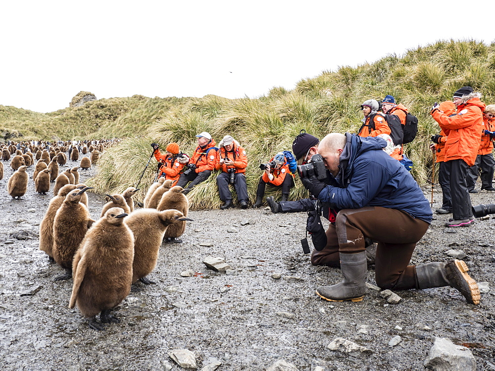 Tourists photographing king penguin chicks at Salisbury Plain, South Georgia Island, Antarctica