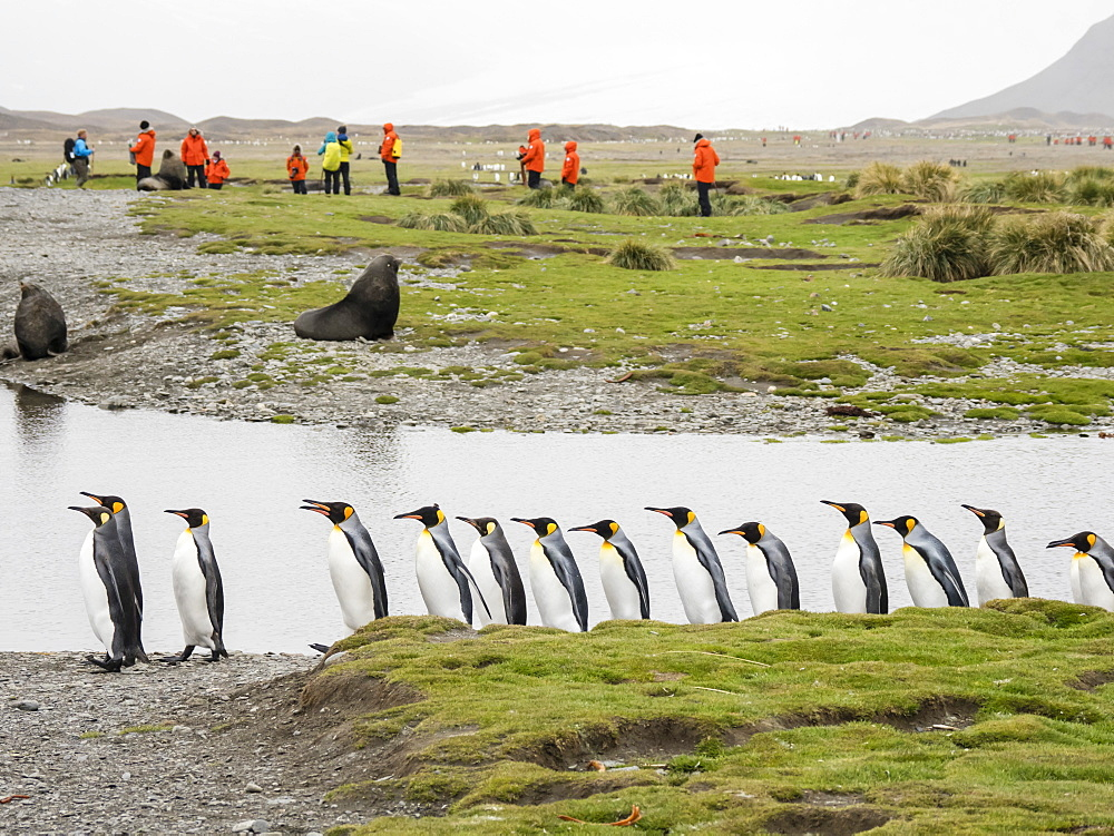 Adult king penguins, Aptenodytes patagonicus, amongst tourists in Fortuna Bay, South Georgia Island, Atlantic Ocean