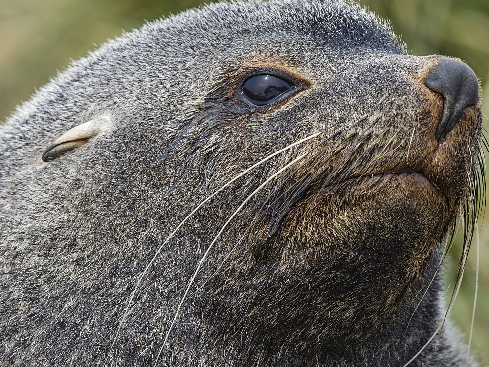 Adult bull Antarctic fur seal, Arctocephalus gazella, head detail at Ocean Harbour, South Georgia Island, Atlantic Ocean - 1112-4130