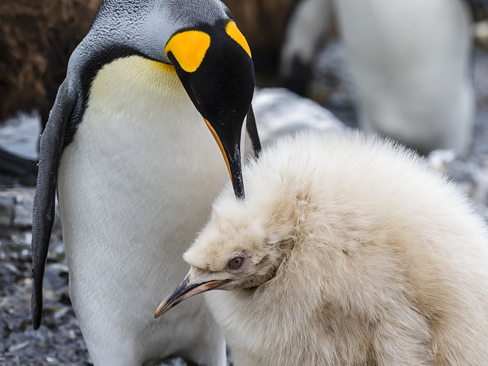 Leucistic king penguin chick, Aptenodytes patagonicus, at breeding colony on Salisbury Plain, South Georgia Island, Atlantic Ocean