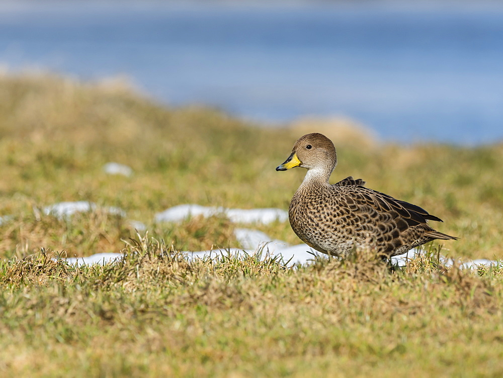 An endemic adult South Georgia pintail, Anas georgica, at the whale station in Grytviken, South Georgia Island, Atlantic Ocean