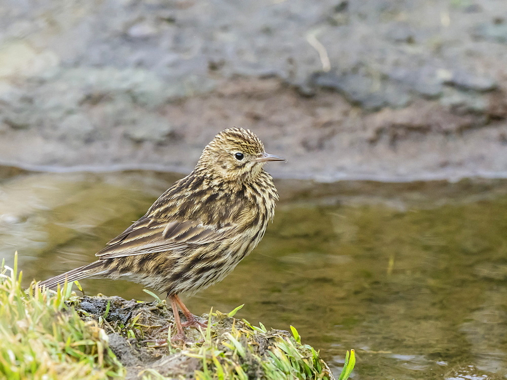 An adult South Georgia pipit, Anthus antarcticus, endemic to South Georgia, Peggotty Bluff, South Georgia Island, Atlantic Ocean