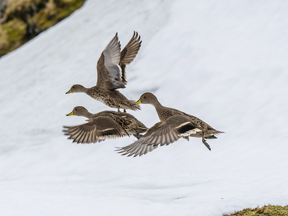 An endemic adult South Georgia pintails, Anas georgica, in flight at Moltke Harbour, Royal Bay, South Georgia Island, Atlantic Ocean