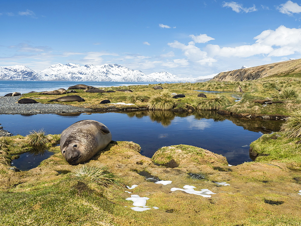 Adult bull southern elephant seal, Mirounga leonina, hauled out at Grytviken, South Georgia Island, Atlantic Ocean