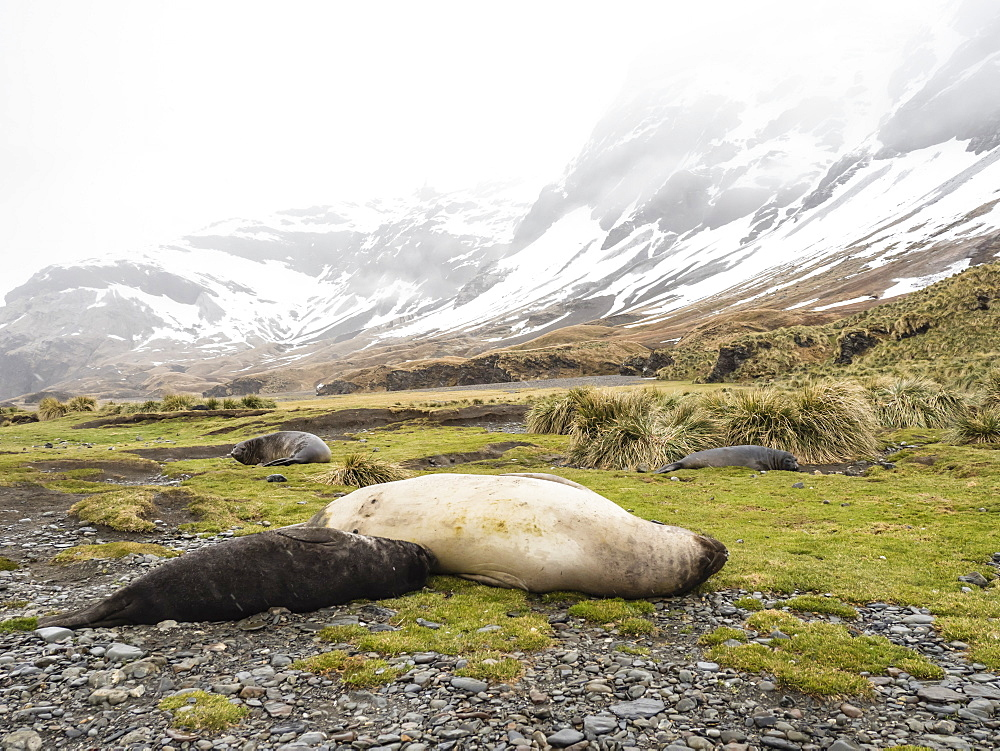 Female southern elephant seal, Mirounga leonina, nursing pup at Fortuna Bay, South Georgia Island. - 1112-4154