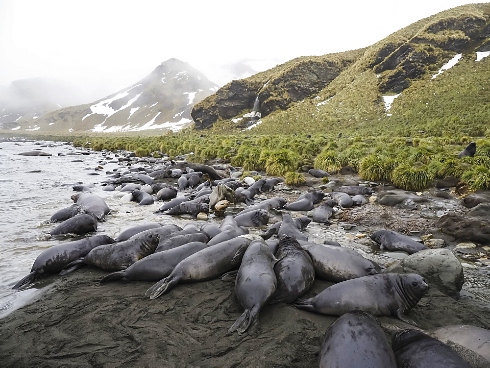 Southern elephant seal pups, Mirounga leonina, newborns and weaned, Jason Harbour, South Georgia Island, Atlantic Ocean