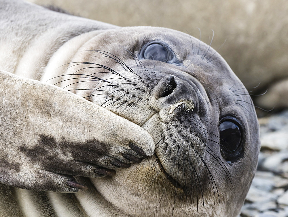 Southern elephant seal pup, Mirounga leonina, recently weaned from mom, Jason Harbour, South Georgia Island, Atlantic Ocean