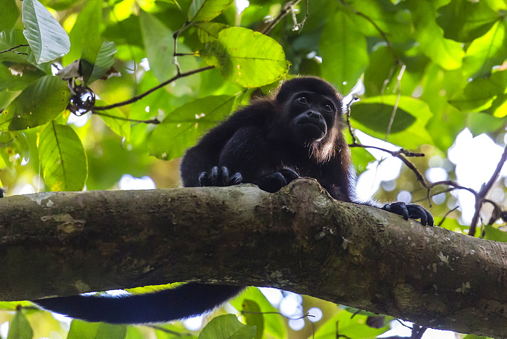 An adult mantled howler monkey, Alouatta palliata, in the forest of Caletas Reserve, Osa Peninsula, Costa Rica, Central America - 1112-4162
