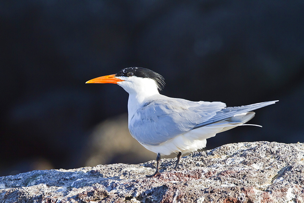 Elegant tern (Thalasseus elegans, Isla Rasa, Gulf of California (Sea of Cortez), Baja California, Mexico, North America