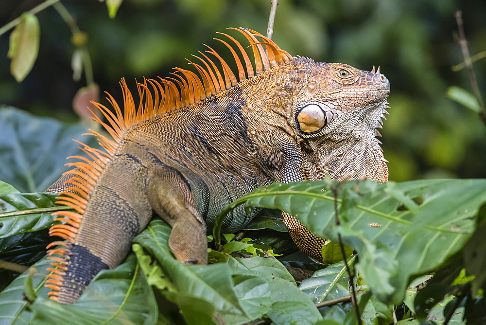 An adult male green iguana, Iguana iguana, in breeding coloration, Tortuguero National Park, Costa Rica, Central America