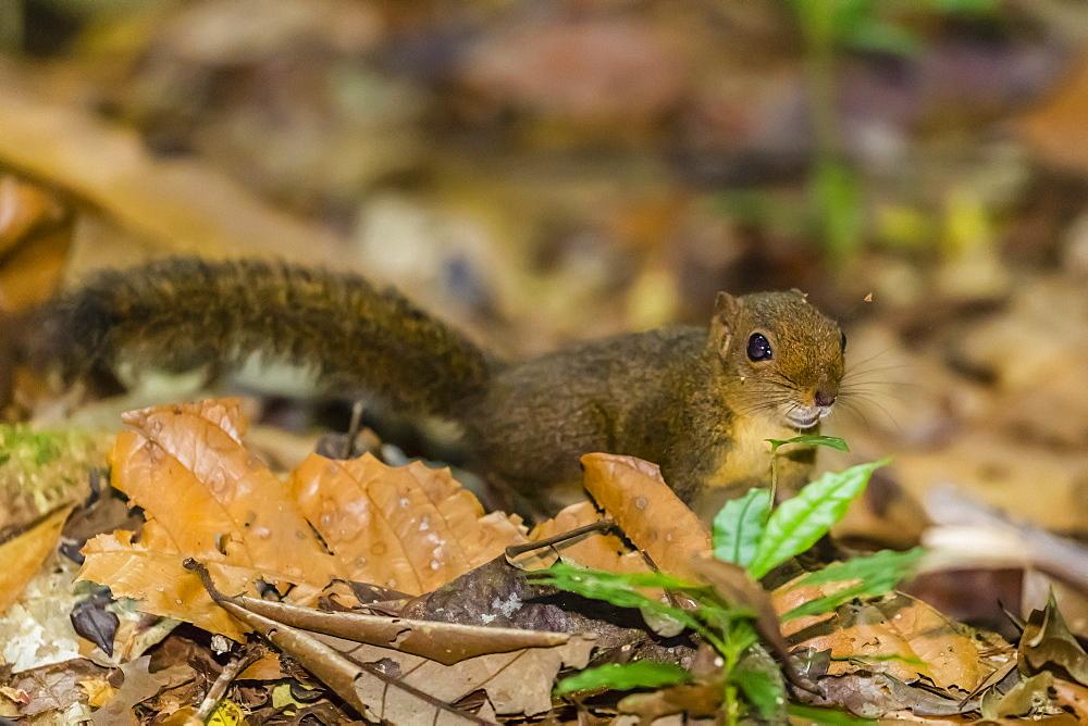 A Central American dwarf squirrel, Microsciurus alfari, Caletas Reserve, Osa Peninsula, Costa Rica, Central America - 1112-4174