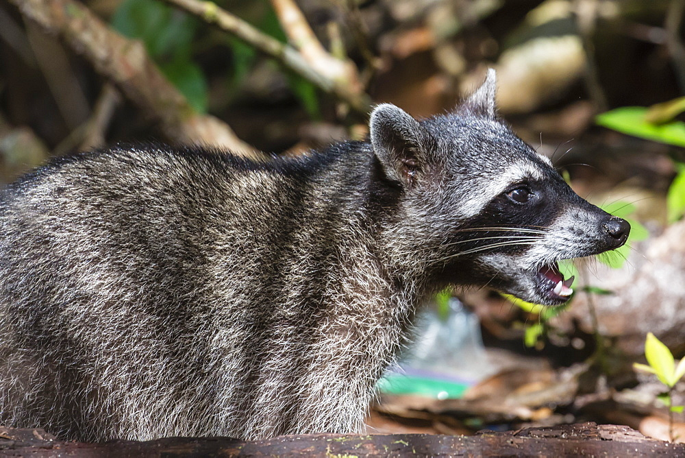 An adult crab-eating raccoon, Procyon cancrivorus, Manuel Antonio National Park, Costa Rica. - 1112-4175