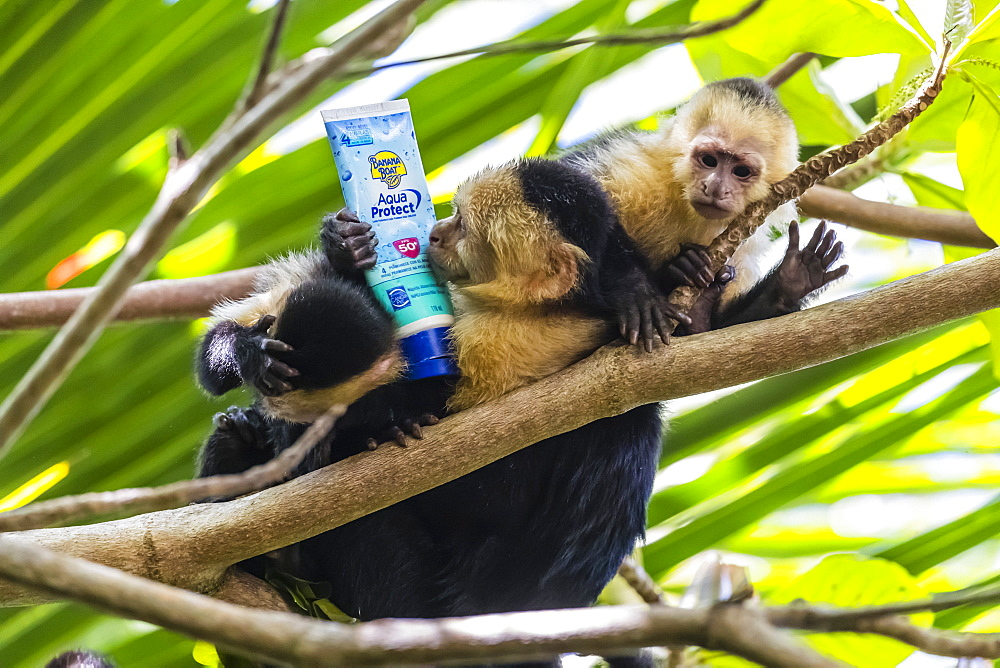 Panamanian white-faced capuchins, Cebus imitator, with sunscreen, Manuel Antonio National Park, Costa Rica, Central America