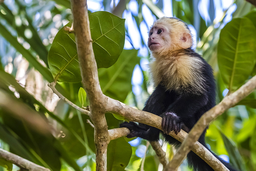 A Panamanian white-faced capuchin, Cebus imitator, in Manuel Antonio National Park, Costa Rica, Central America - 1112-4180