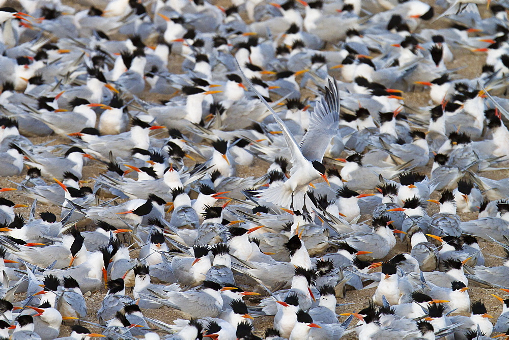 Elegant tern (Thalasseus elegans) breeding colony, Isla Rasa, Gulf of California (Sea of Cortez), Baja California, Mexico, North America