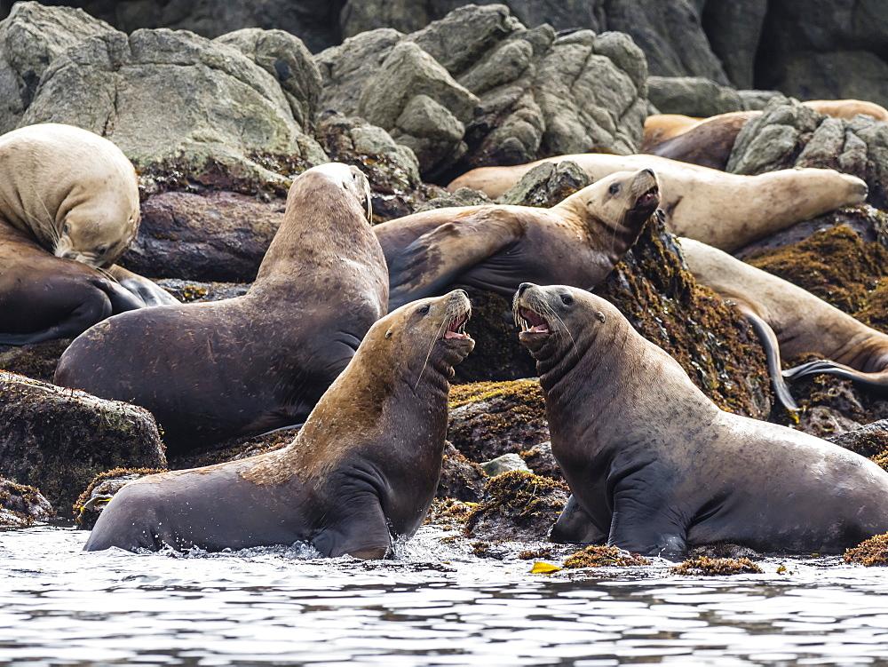 Adult Steller sea lions (Eumetopias jubatus), near SGang Gwaay Island, Haida Gwaii, British Columbia, Canada, North America - 1112-4194